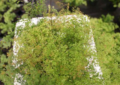 Adiantum Charlotte Parvifolium Top View