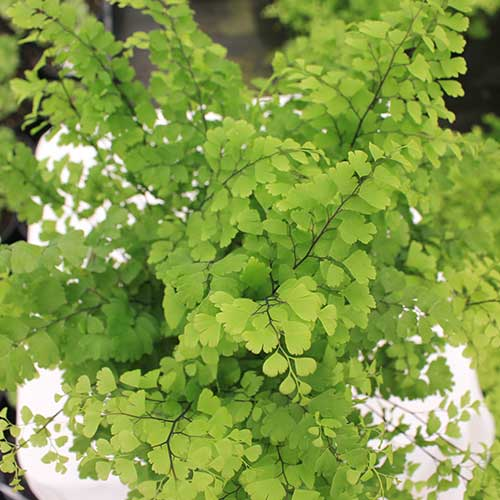 Adiantum Fitz Luthi Top View