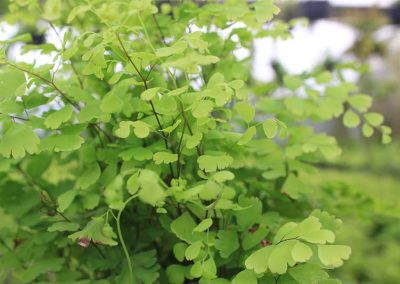 Adiantum Fragrans Side View