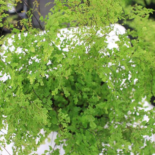 Adiantum Lady Supreme Top View