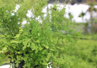 Adiantum Lady Supreme Side View