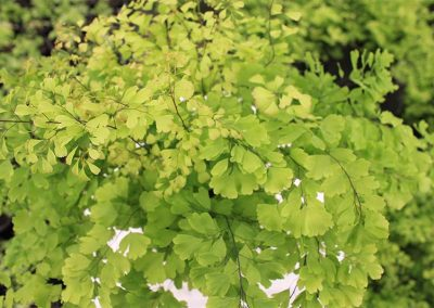 Adiantum Lucille Top View