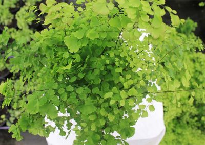 Adiantum Margaretta Top View