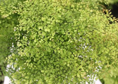 Adiantum Mist Top Down