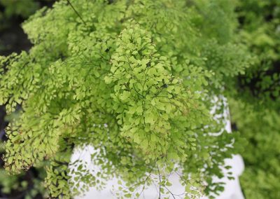 Adiantum Triumph Top View