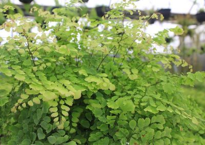 Adiantum Crested Majus Side View