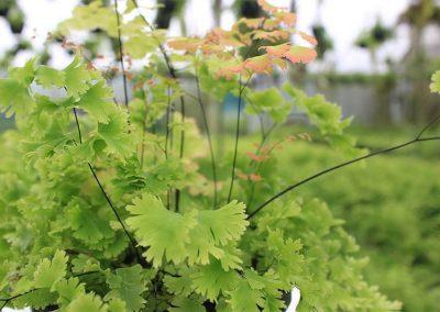 Adiantum Gloriosum Roseum Side View