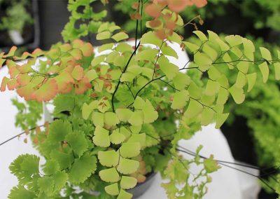 Adiantum Gloriosum Roseum Top View